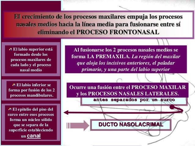 Dr. Juan Carlos Munévar N El crecimiento de los procesos maxilares empuja los procesos nasales medios hacia la línea media...