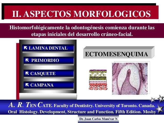 Dr. Juan Carlos Munévar N  LAMINA DENTAL  PRIMORDIO  CASQUETE  CAMPANA A. R. TEN CATE. Faculty of Dentistry. Universit...