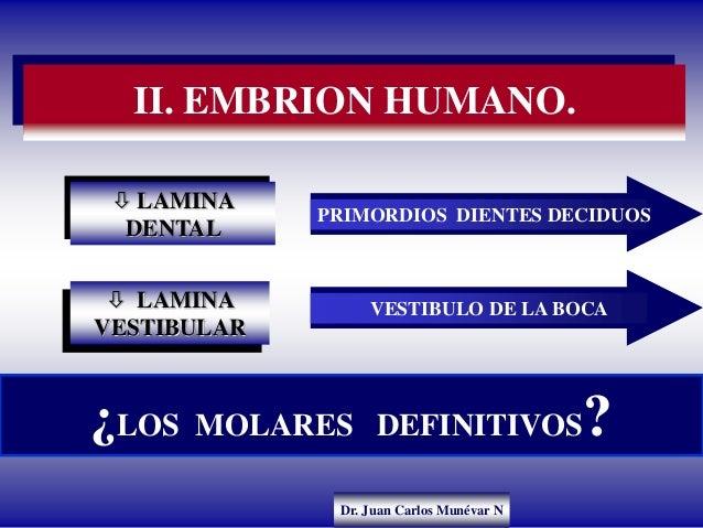 Dr. Juan Carlos Munévar N II. EMBRION HUMANO. ¿LOS MOLARES DEFINITIVOS?  LAMINA DENTAL  LAMINA VESTIBULAR PRIMORDIOS DIE...
