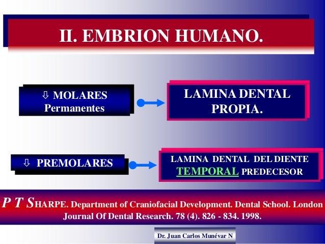 Dr. Juan Carlos Munévar N II. EMBRION HUMANO. LAMINA DENTAL PROPIA.  MOLARES Permanentes  PREMOLARES LAMINA DENTAL DEL D...