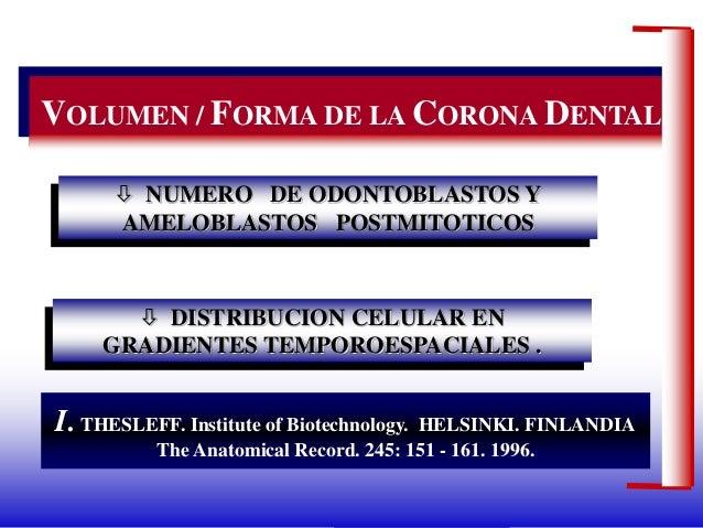 Dr. Juan Carlos Munévar N VOLUMEN / FORMA DE LA CORONA DENTAL  NUMERO DE ODONTOBLASTOS Y AMELOBLASTOS POSTMITOTICOS  DIS...