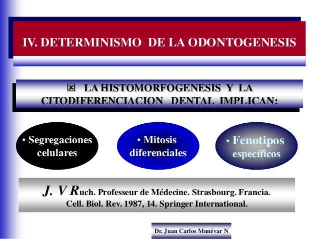 Dr. Juan Carlos Munévar N IV. DETERMINISMO DE LA ODONTOGENESIS  LA HISTOMORFOGENESIS Y LA CITODIFERENCIACION DENTAL IMPLI...