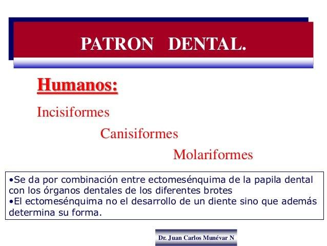 Dr. Juan Carlos Munévar N Humanos: Incisiformes Canisiformes Molariformes •Se da por combinación entre ectomesénquima de l...