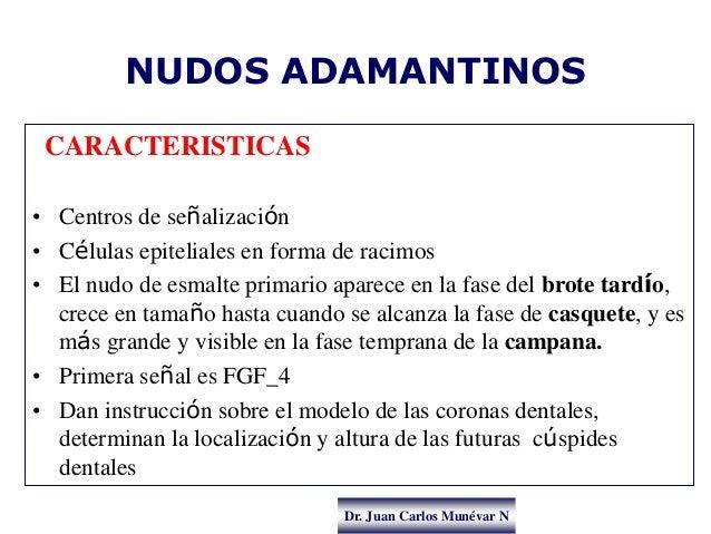 Dr. Juan Carlos Munévar N NUDOS ADAMANTINOS CARACTERISTICAS • Centros de señalización • Células epiteliales en forma de ra...