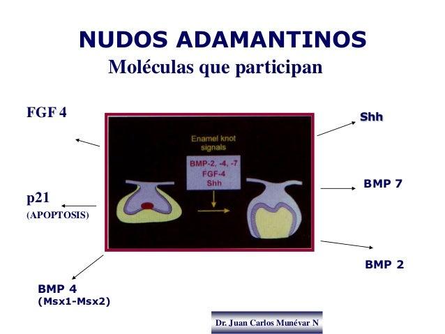 Dr. Juan Carlos Munévar N NUDOS ADAMANTINOS Moléculas que participan FGF 4 p21 (APOPTOSIS) BMP 2 Shh BMP 4 (Msx1-Msx2) BMP...