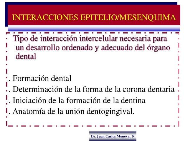 Dr. Juan Carlos Munévar N Tipo de interacción intercelular necesaria para un desarrollo ordenado y adecuado del órgano den...