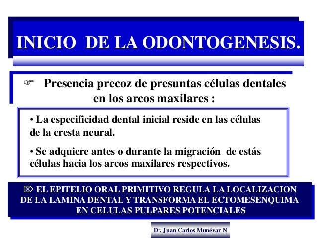 Dr. Juan Carlos Munévar N INICIO DE LA ODONTOGENESIS.  Presencia precoz de presuntas células dentales en los arcos maxila...