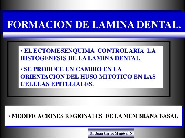 Dr. Juan Carlos Munévar N FORMACION DE LAMINA DENTAL. • MODIFICACIONES REGIONALES DE LA MEMBRANA BASAL • EL ECTOMESENQUIMA...