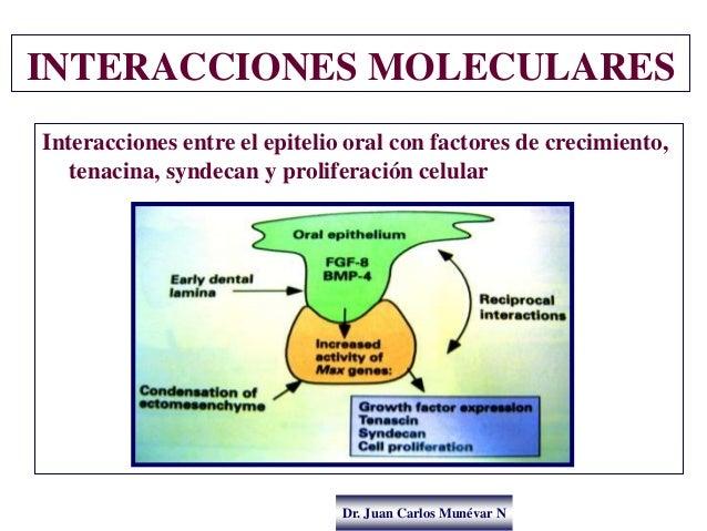 Dr. Juan Carlos Munévar N INTERACCIONES MOLECULARES Interacciones entre el epitelio oral con factores de crecimiento, tena...