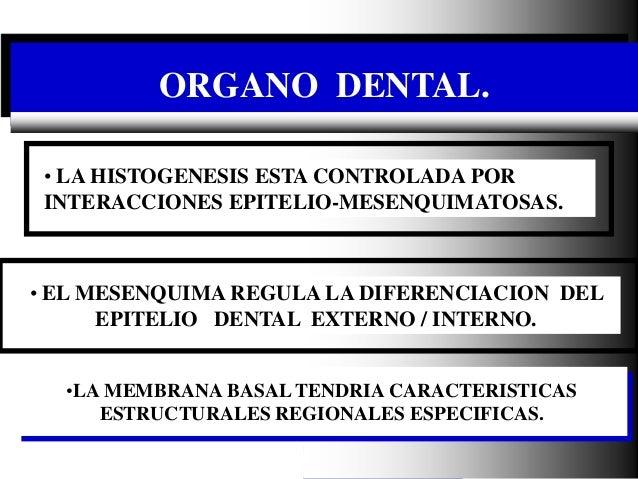 Dr. Juan Carlos Munévar N ORGANO DENTAL. •LA MEMBRANA BASAL TENDRIA CARACTERISTICAS ESTRUCTURALES REGIONALES ESPECIFICAS. ...