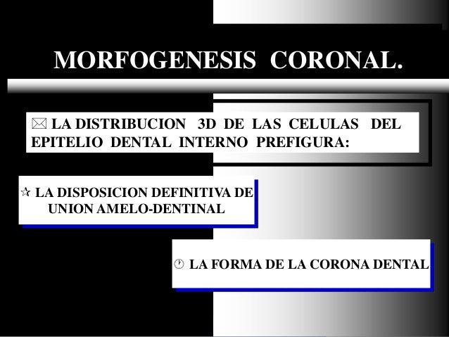 Dr. Juan Carlos Munévar N MORFOGENESIS CORONAL.  LA DISPOSICION DEFINITIVA DE UNION AMELO-DENTINAL  LA DISTRIBUCION 3D D...