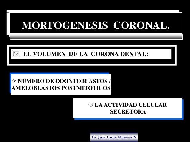 Dr. Juan Carlos Munévar N MORFOGENESIS CORONAL.  NUMERO DE ODONTOBLASTOS / AMELOBLASTOS POSTMITOTICOS  EL VOLUMEN DE LA ...