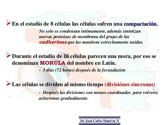 Dr. Juan Carlos Munévar N En el estadío de 8 células las células sufren una compactación. No solo se condensan intímament...