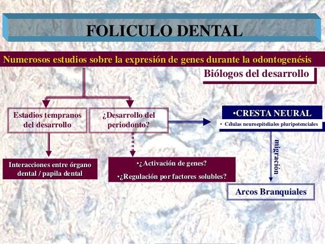 Dr. Juan Carlos Munévar N FOLICULO DENTAL Biólogos del desarrollo Numerosos estudios sobre la expresión de genes durante l...