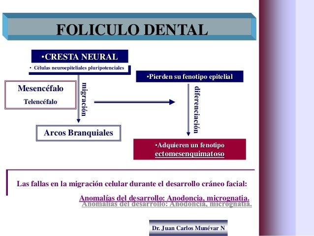 Dr. Juan Carlos Munévar N FOLICULO DENTAL •CRESTA NEURAL • Células neuroepiteliales pluripotenciales Arcos Branquiales •Pi...