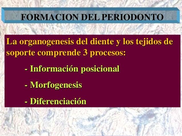 Dr. Juan Carlos Munévar N FORMACION DEL PERIODONTO La organogenesis del diente y los tejidos de soporte comprende 3 proces...
