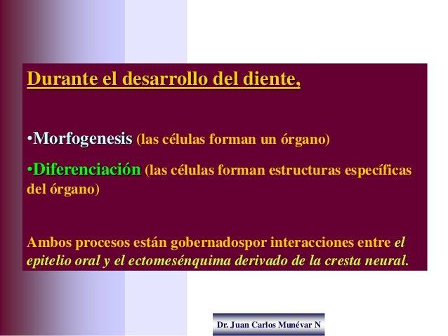 Dr. Juan Carlos Munévar N Durante el desarrollo del diente, •Morfogenesis (las células forman un órgano) •Diferenciación (...