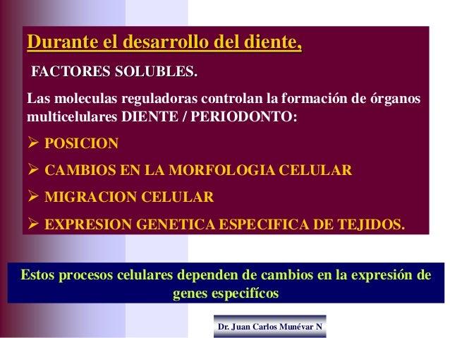 Dr. Juan Carlos Munévar N Durante el desarrollo del diente, FACTORES SOLUBLES. Las moleculas reguladoras controlan la form...