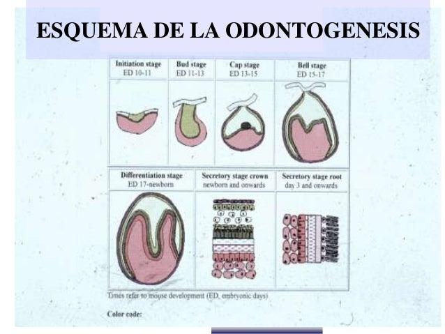 Dr. Juan Carlos Munévar N ESQUEMA DE LA ODONTOGENESIS