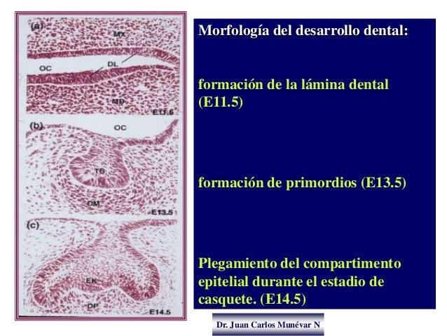 Dr. Juan Carlos Munévar N Morfología del desarrollo dental: formación de la lámina dental (E11.5) formación de primordios ...