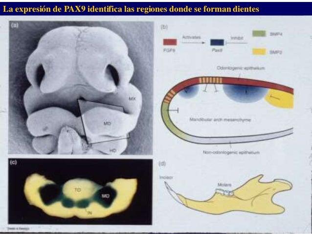 Dr. Juan Carlos Munévar N La expresión de PAX9 identifica las regiones donde se forman dientes
