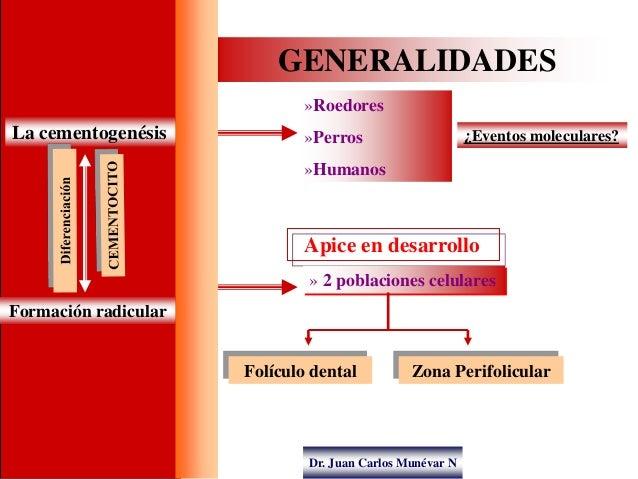Dr. Juan Carlos Munévar N GENERALIDADES La cementogenésis »Roedores »Perros »Humanos ¿Eventos moleculares? Formación radic...