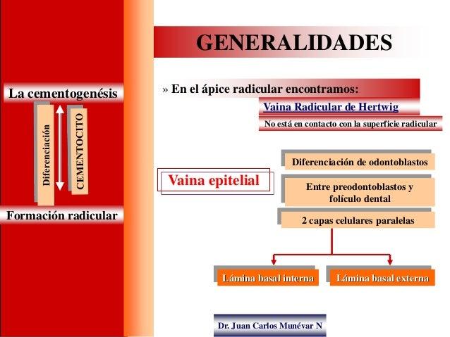 Dr. Juan Carlos Munévar N GENERALIDADES La cementogenésis » En el ápice radicular encontramos: Vaina Radicular de Hertwig ...