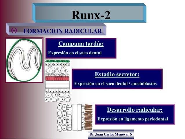 Dr. Juan Carlos Munévar N  FORMACION RADICULAR Runx-2 Campana tardía: Expresión en el saco dental Estadio secretor: Expre...