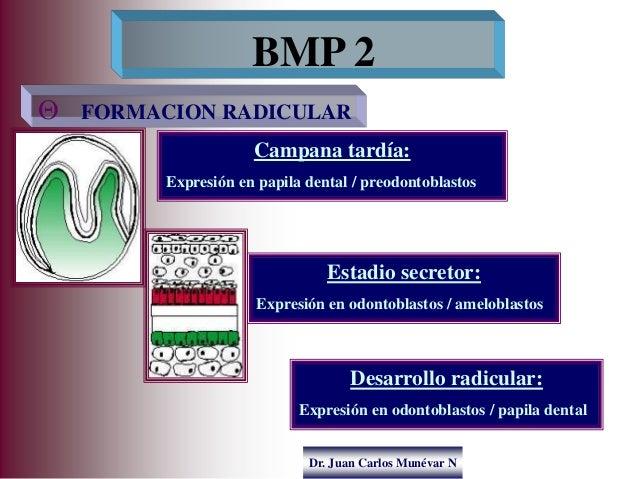 Dr. Juan Carlos Munévar N  FORMACION RADICULAR BMP 2 Campana tardía: Expresión en papila dental / preodontoblastos Estadi...