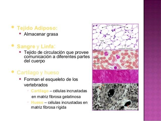    Especializado para contraerse   Sus células se conocen como    fibras por su longitud   La fibra muscular contiene  ...