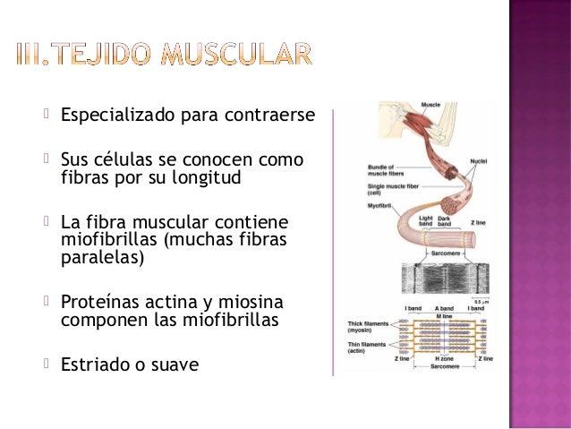    Liso- está en las paredes de    algunos órganos internos.    Sus células tienen un solo    núcleo   Esqueletal- masas...