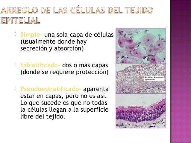    Simple- una sola capa de células    (usualmente donde hay    secreción y absorción)   Estratificado- dos o más capas ...