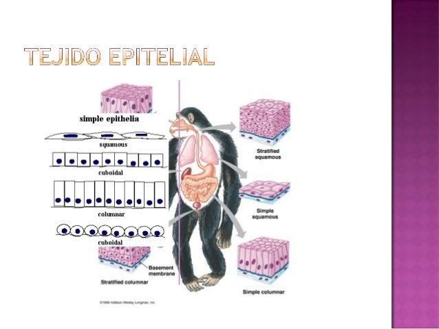    Une y sirve de soporte para otras estructuras del    cuerpo   Prácticamente todos los órganos están cubiertos de    e...
