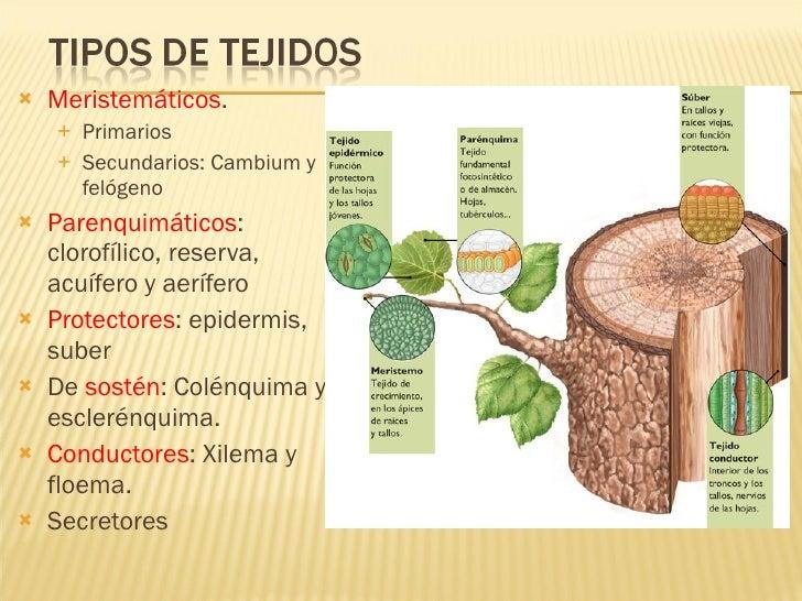 Tejidos vegetales funci n y definici n educ ndose en for Tipos de arboles y su significado