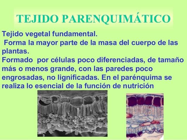 parénquima se realiza lo esencial de la función de nutrición