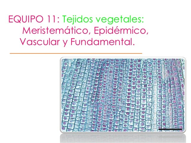EQUIPO 11: Tejidos vegetales:  Meristemático, Epidérmico,  Vascular y Fundamental.