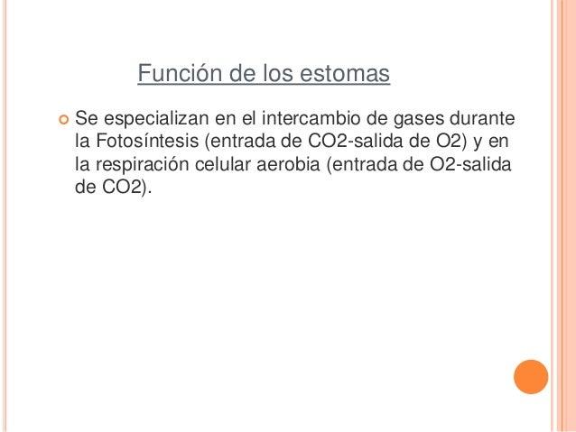 Función de los estomas Se especializan en el intercambio de gases durantela Fotosíntesis (entrada de CO2-salida de O2) y ...