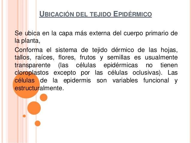 UBICACIÓN DEL TEJIDO EPIDÉRMICOSe ubica en la capa más externa del cuerpo primario dela planta,Conforma el sistema de teji...