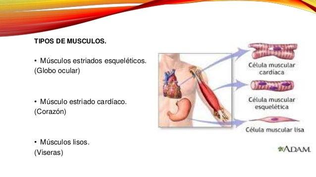 Tejido y sistemas musculares