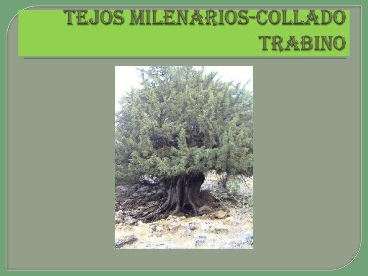 TEJOS MILENARIOS-COLLADO TRABINO<br />
