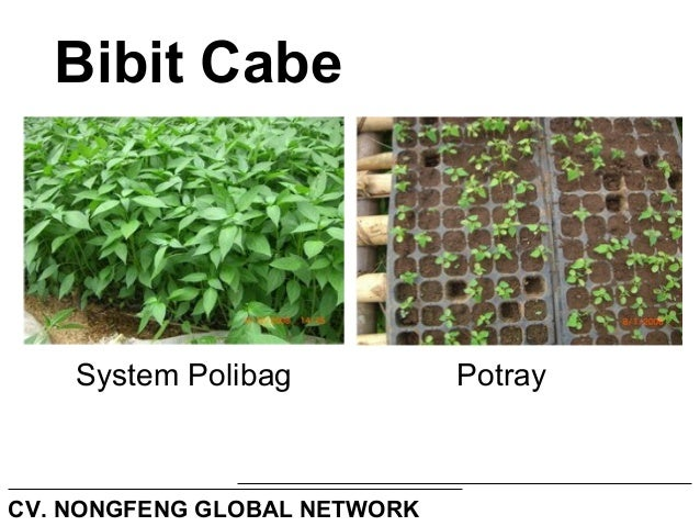 Teknis budidaya tanaman cabe upload Slide 3