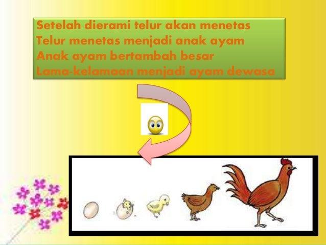 600+ Gambar Pertumbuhan Hewan Ayam Terbaru