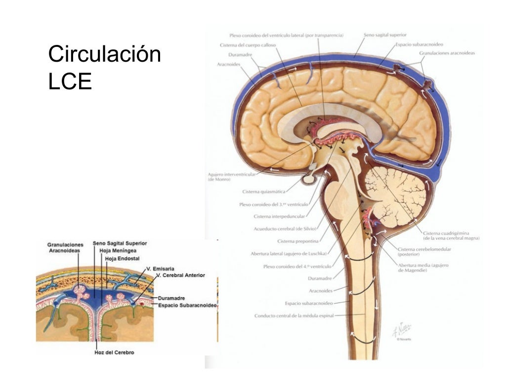 Anatomia Telencefalo