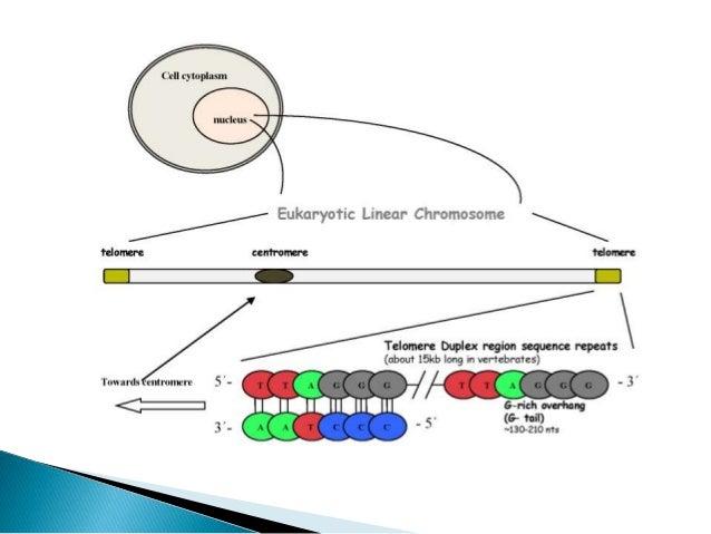 "14 Telomere s, a multi protein complex • Mammalian telomeres have a SIX PROTEIN complex called ""SHELTERIN"". • TRF1 and TRF..."