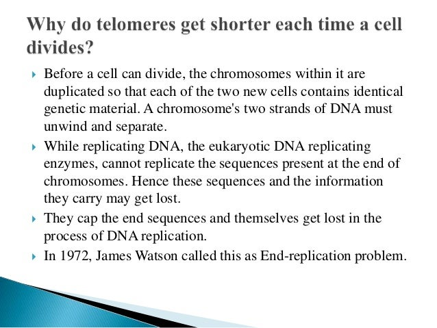  An enzyme named telomerase adds bases to the ends of telomeres. In young cells, telomerase keeps telomeres from wearing ...