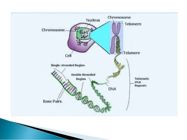  This is because enzymes that duplicate DNA cannot continue their duplication all the way to the end of chromosomes. If c...