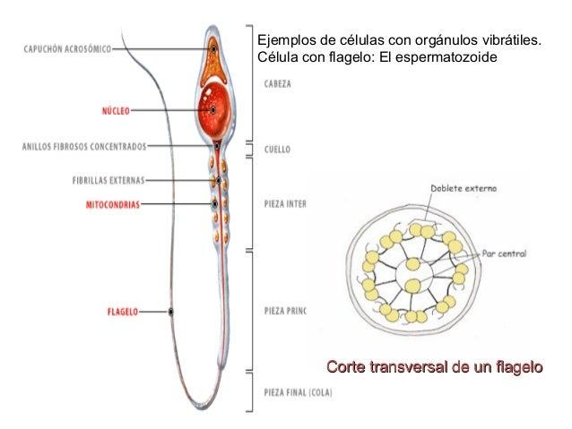 la c lula procariota y eucariota