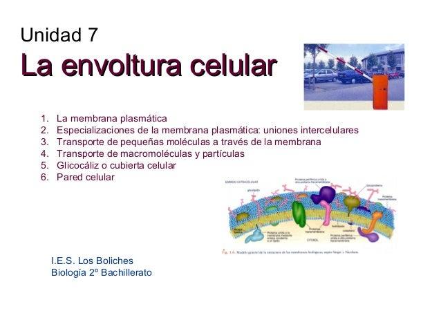 Unidad 7  La envoltura celular 1. 2. 3. 4. 5. 6.  La membrana plasmática Especializaciones de la membrana plasmática: unio...
