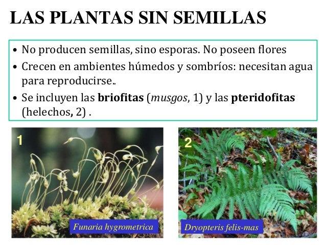 Tema08 plantas for Plantas sin semillas