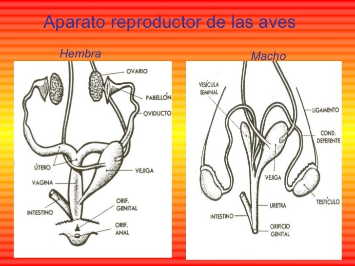 aparato reproductor aves macho